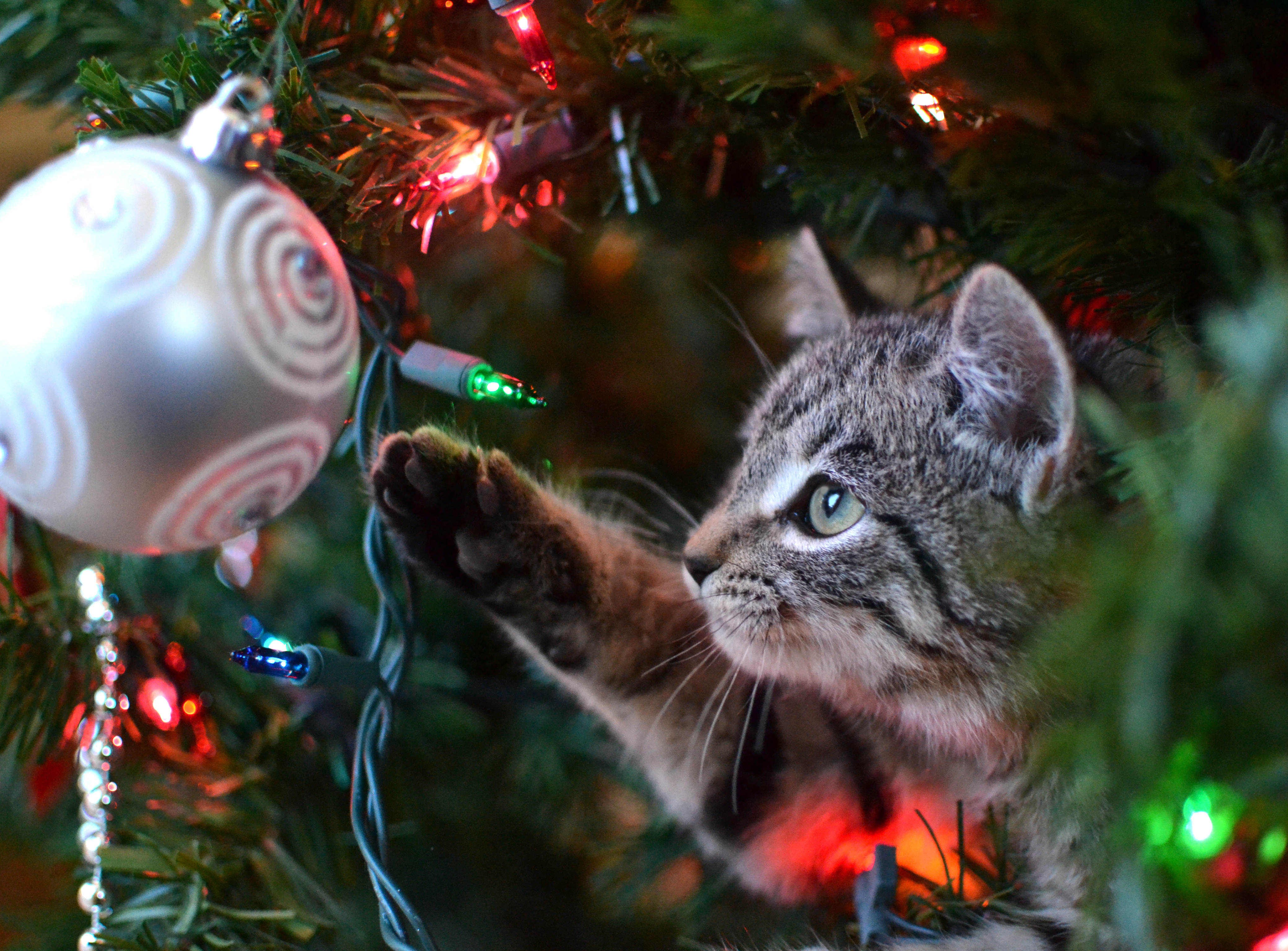 Grey tabby kitten playing with ornament in Christmas tree